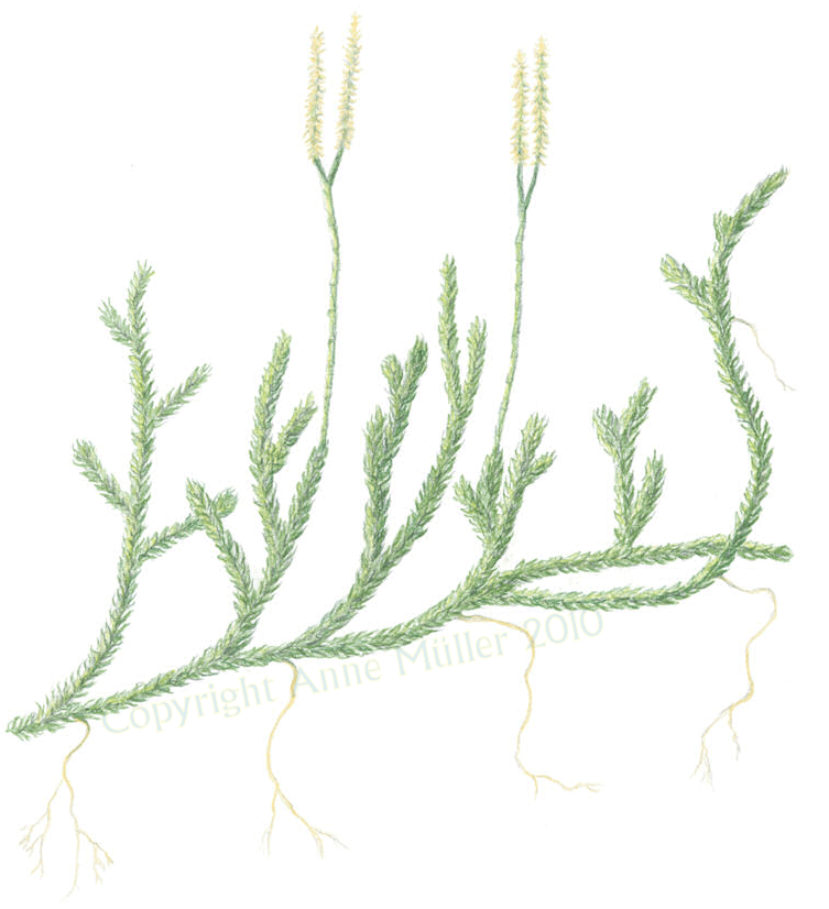 Lycopodium clavatum © 2010 Anne Müller